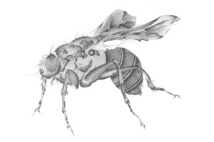 ohne Titel (Fliege), Bleistift auf Papier, 2008, 100 x 80 cm